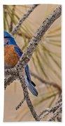 Western Bluebird Male In A Pine Tree.  Beach Towel