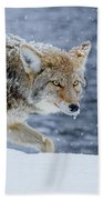 Where The Coyote Walks Beach Towel