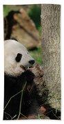 Wild Giant Panda Bear Eating Bamboo Shoots Beach Towel