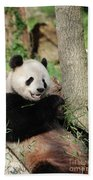 Wild Panda Bear Eating Bamboo Shoots While Leaning Against A Tre Beach Towel