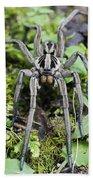 Wolf Spider Hogna Sp Male, Mindo Beach Towel