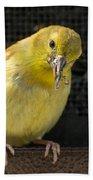 Lesser Female Goldfinch Having Lunch Beach Towel