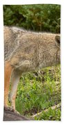 Yellowstone Coyote Scout Beach Towel