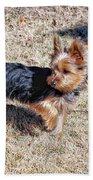 Yorkshire Terrier Dog Pose #9 Beach Towel