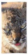 Young Bobcat 04 Beach Towel