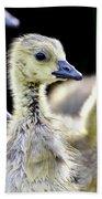 Young Canadian Goose Goslings Beach Towel