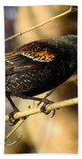 Young Male Red-winged Black Bird Beach Towel