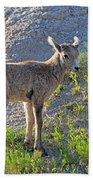Young Rocky Mountain Bighorn Sheep Beach Towel