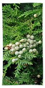 Young Seed Cones Of Lawson Cypress Beach Towel
