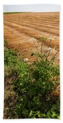 Field With Brown Cut Flax In Rows Drying In The Sun Beach Towel