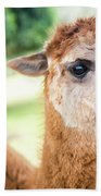 Alpaca In A Field. Beach Towel by Rob D Imagery