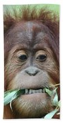 A Close Portrait Of A Young Orangutan Eating Leaves Beach Towel