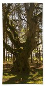 ancient tree in forest near Greenlawin Scottish Borders Beach Towel