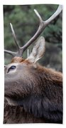 Bull Elk Grooms Himself Beach Sheet