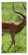 Male Impala Crossing Grassland With Tongue Out Beach Towel