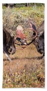 Moose Bulls Spar In The Colorado High Country Beach Towel