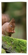 Red Squirrel Sciurus Vulgaris Eating A Seed On A Stone Wall Beach Towel