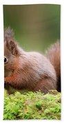 Red Squirrel Sciurus Vulgaris Beach Towel