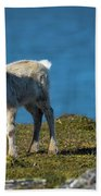 Reindeer Grazing In Spitzbergen Beach Towel