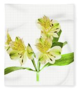 Alstroemeria Flowers Against White Fleece Blanket