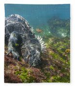 Marine Iguana Feeding On Algae Punta Fleece Blanket