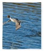 Northern Pintail Drake Taking Fleece Blanket