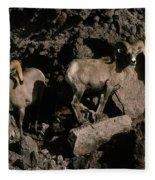 Desert Bighorns Ovis Canadensis Nelsoni Fleece Blanket