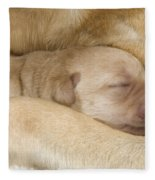 Labrador Puppy On Mother Fleece Blanket