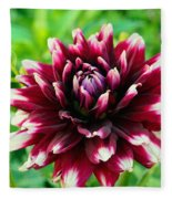 Maroon And White Dahlia Flower In The Garden Fleece Blanket