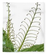 Young Spring Fronds Of Silver Tree Fern On White Fleece Blanket