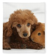Apricot Miniature Poodle Pup With Red Fleece Blanket