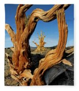 Looking Through A Bristlecone Pine Fleece Blanket
