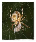 Marbled Orb Weaver Spider Eating Fleece Blanket