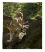 Young Lion Stalking Fleece Blanket