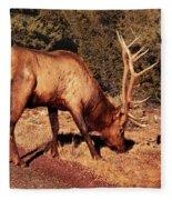 Animal - Elk -  An Elk Eating Fleece Blanket