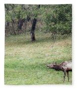 Juvenile Bull Elk Grazing 2 Fleece Blanket