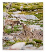 Practicing Baby Bighorn Sheep On Mount Evans Colorado Fleece Blanket