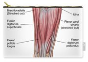 Anatomy Of Forearm Muscles, Anterior Carry-all Pouch