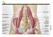 Anatomy Of Iliopsoa, Also Known Carry-all Pouch