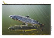 Atlantic Salmon Adults Migrate From Carry-all Pouch