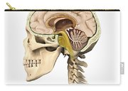 Cutaway View Of Human Skull Showing Carry-all Pouch
