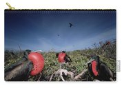 Great Frigatebird Males In Courtship Carry-all Pouch