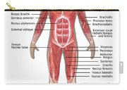 Muscular System In Male Anatomy Carry-all Pouch