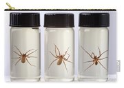 Brown Recluse Spider Carry-all Pouch