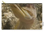 Gold-speck Jawfish Pouting, North Carry-all Pouch
