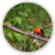 Berry Eating  Scarlet Tanager Round Beach Towel