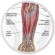 Anatomy Of Forearm Muscles, Anterior Round Beach Towel