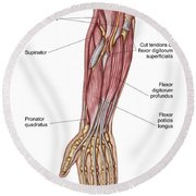 Anatomy Of Human Forearm Muscles, Deep Round Beach Towel