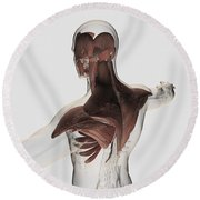 Anatomy Of Male Muscles In Upper Body Round Beach Towel by Stocktrek Images