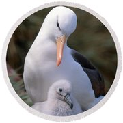 Black-browed Albatross With Chick Round Beach Towel